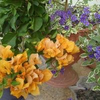 Bugenvilla i Psianka variegata