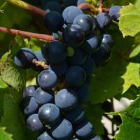 ciemne winogrona dojrzewają...