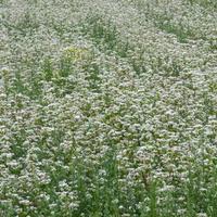 Duże pole jednakowych roślin