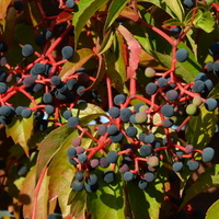 dzikie wino i jego owoce