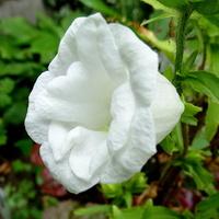 Jeszcze dzwonią w pięknej bieli:)