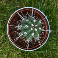 kaktus z długimi kolcami