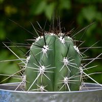 Kaktus Z Długimi Ko