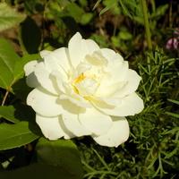 Kolejne róże :)