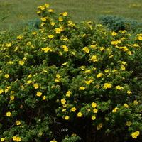 krzew z żółtymi kwiatami