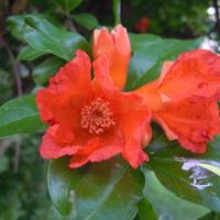 kwiat granatu