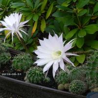 Kwitnący kaktus Echinopsis