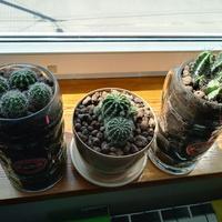 Młode kaktusy