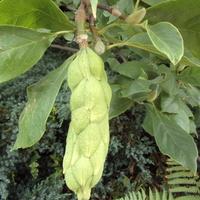 Magnoliowy owoc ?