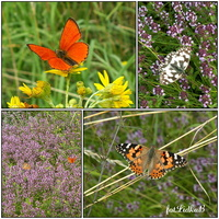 Na łące,motyle