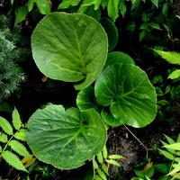 Ozdobna roślina z b. dużymi liśćmi,
