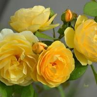 Róże w Parku Wilanowskim.