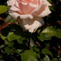 sympatyczna róża
