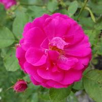 Taka różowa dama........