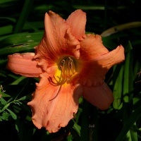 Ukryty liliowiec