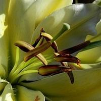 Zakwitła ostatnia z moich lilii:)