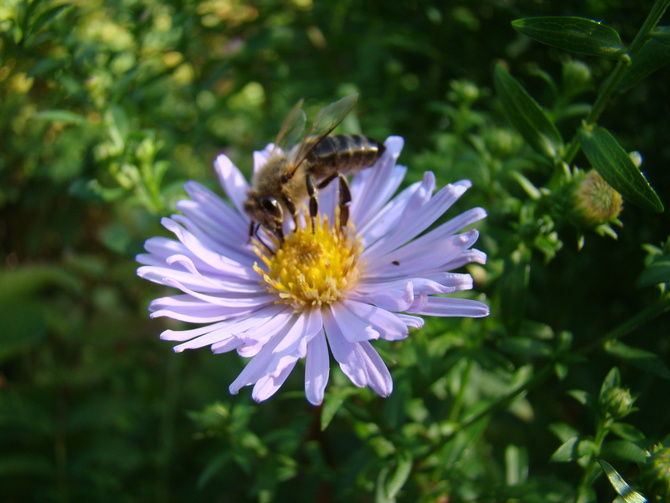 Aster.....