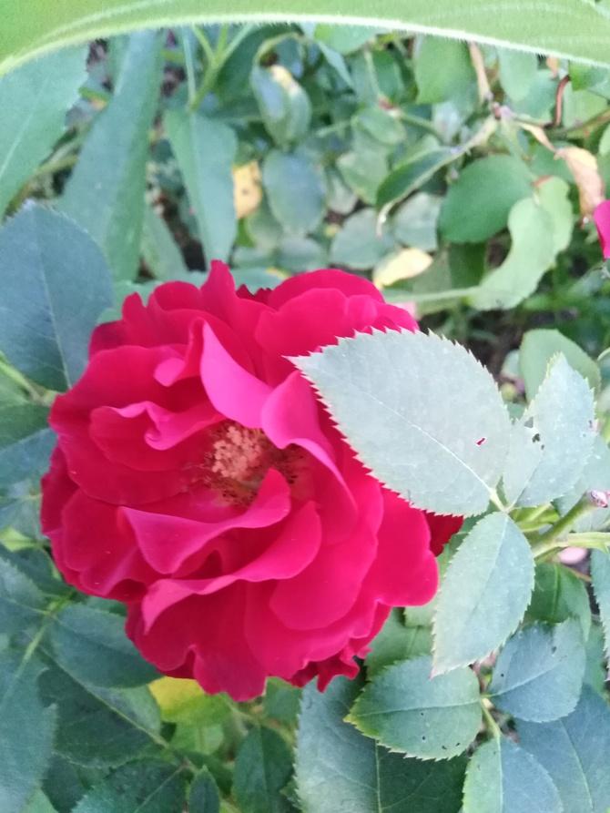 Czerwona róża....