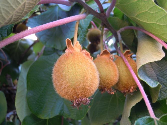 kiwi-owoce....