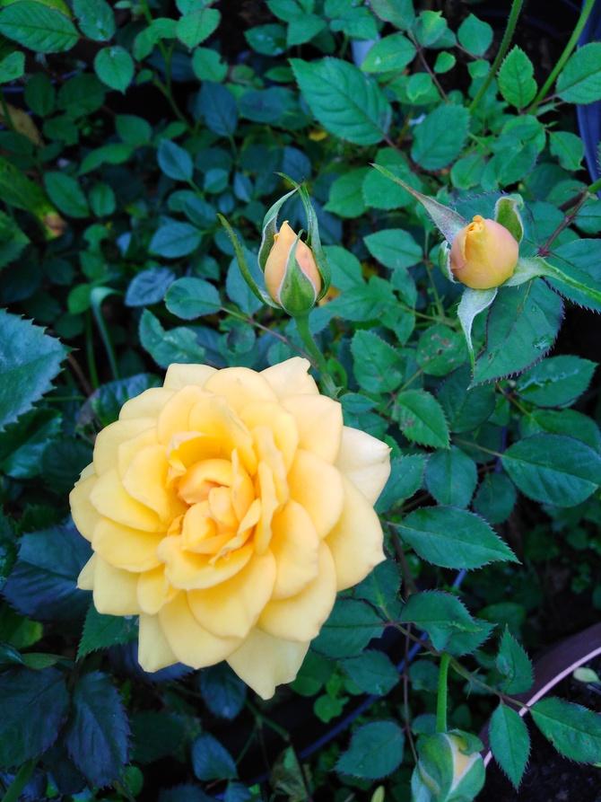 Maleńka różyczka....