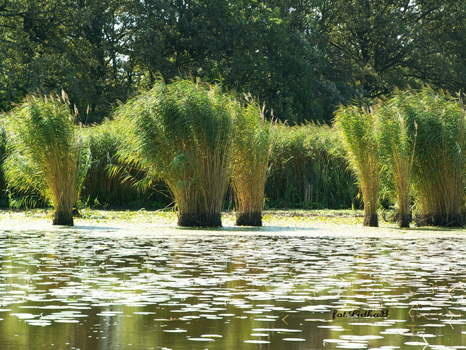 Ozdobne trawy na stawie