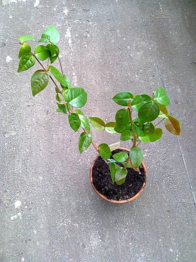 Pitanga wyrośnie na spore drzewo.