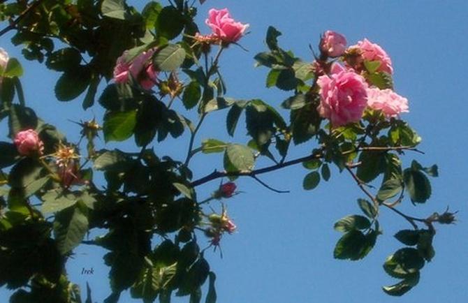 pnące róże (fragment)
