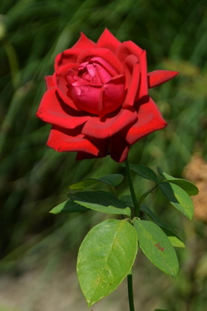 Róża czerwona na rozgrzewkę