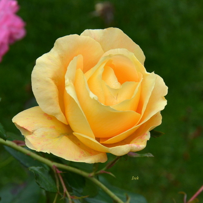 Róża jesienna