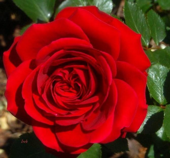 Róża na rozgrzewkę.