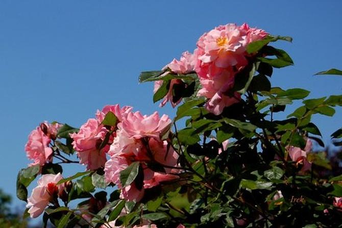 Róże na tle błękitnego nieba.