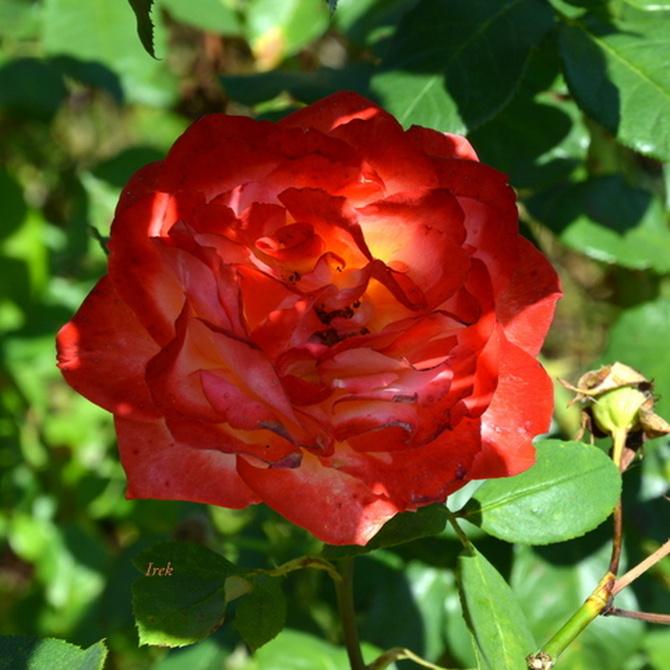 ukryta róża