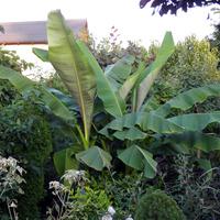 Bananowiec Ma Się D