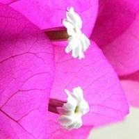 Białe maleństwa wśród różu:)