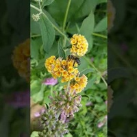 budleja i pszczoła .....