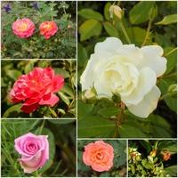 Czyżby już jesienne róże?