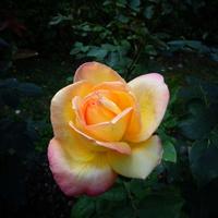 Jak Wam się podoba róża ' Sahara ' .