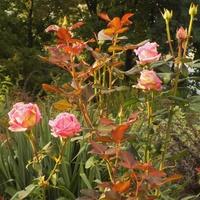 Jesienne róże raz jeszcze :)
