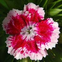 Kwiat biało-czerwony na 1 września