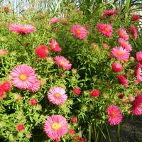 Marcinki,jesienne kwiaty