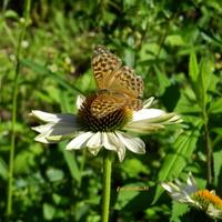Motyl Dostojka malinowiec