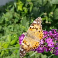 Motyl i budleja ....