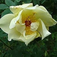 Najwcześniej kwitnąca róża syczuańska .
