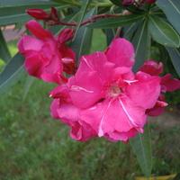 oleander....