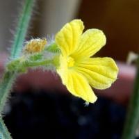 Pierwszy kwiatek kiwano:)