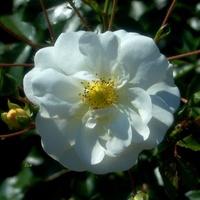 róża biała, Królowa wszystkich kwiatów