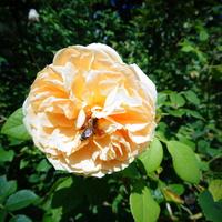 Róża ' Leander - Ausleaf '.  Makro .