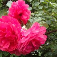 Róże kwitną od nowa .