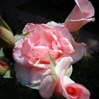 Rogata róża .  Makro .