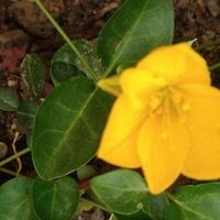 zimowit żółty *-*